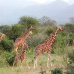 Zooniverse - Wildwatch Kenya