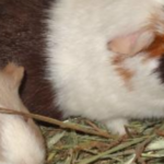 Cavy World Guinea Pig Rescue