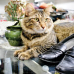Forgotten Felines of Sonoma County - Pick of the Litter Thrift and Gift